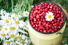 Wild Strawberry In Tin Can And Bouquet Of Chamomile On Green Meadow - Image