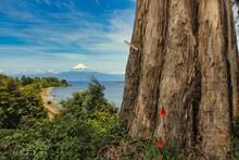 Árbol De Tronco Gigante Y Volcán Osorno, Chile