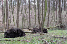 Tree Uprooted By Wind. Fallen Tree With Roots In The Spring Or Summer Forest. Effects Of Storm Wind Or Hurricane