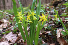 Early Spring Little Flowers Yellow Star Of Bethlehem (Gagea Lutea)  With The Leaves Look Like Grass. Natural Floral Background. Yellow Flowers Goose Onion On The Forest Lawn
