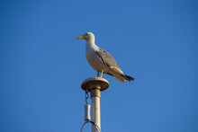 A Seagull Stands On A Flag Post In Cannes, South Of France