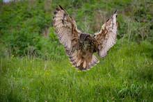 Captive Eagle Owl