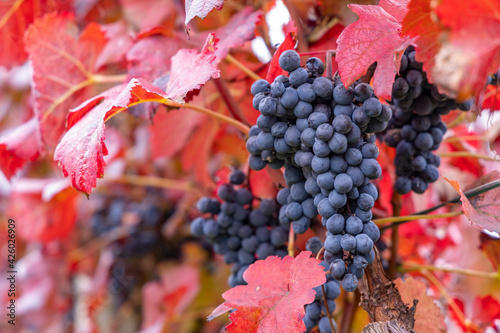Blue grapes Alibernet in autumn vineyard, Southern Moravia, Czech Republic