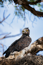 Martial Eagle At Its Nest In A Camelthorn Tree Feeding A Chick And Looking Back Straight Into The Camera. Kgalagadi. Polemaetus Bellicosus
