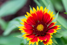 "Gaillardia, Blanket Flower ""Goblin"""