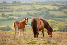 Mother And Foal Dartmoor Ponies Grazing On The Moor, Dartmoor National Park, Devon, England, United Kingdom