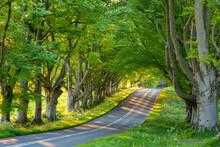 Beech Tree Avenue And Road In Morning Sunlight In Spring, Badbury Rings, Dorset, England, United Kingdom