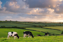 Dairy Cattle Grazing In A Cornish Field At Sunset In Summer, St. Issey, Cornwall, England, United Kingdom