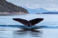 Adult Humpback Whale (Megaptera Novaeangliae), Flukes-up Dive In Glacier Bay National Park, UNESCO World Heritage Site, Alaska, United States Of America