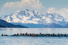 Sea Otters (Enhydra Lutris), In The Beardslee Island Group In Glacier Bay National Park, UNESCO World Heritage Site, Southeast Alaska, United States Of America