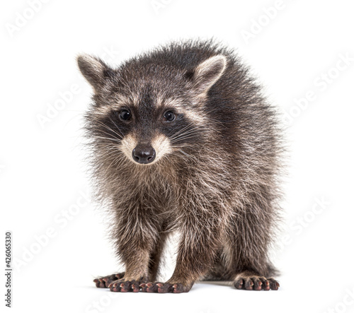 Obraz three months old young raccoon standing in front, isolated - fototapety do salonu