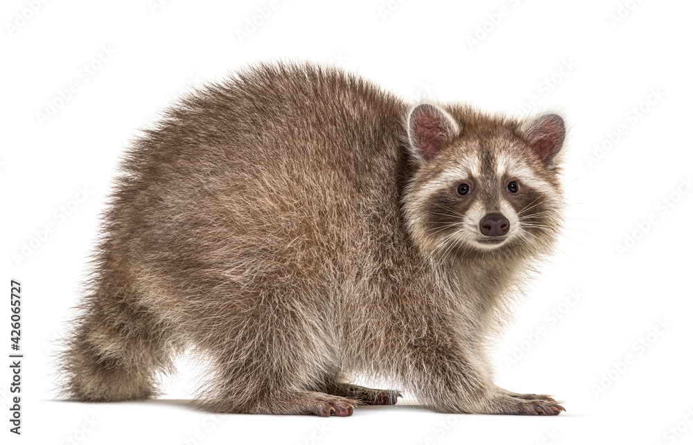 Leinwandbild Motiv - Eric Isselée : Side view of adult Red Raccoon looking at camera, isolated