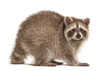 Leinwandbild Motiv Side view of adult Red Raccoon looking at camera, isolated