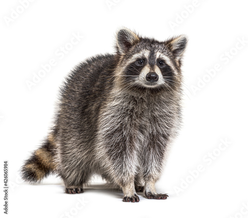 Obraz Young Raccoon standing in front and facing, Looking at the camera isolated on white - fototapety do salonu