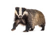canvas print picture European badger, six months old, walking in front