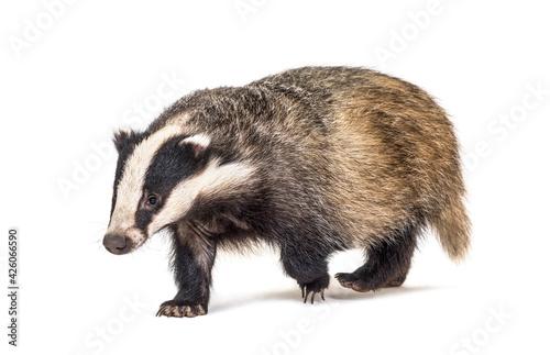 European badger walking towards the camera, six months old, isolated Fototapeta