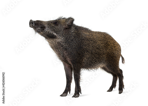 Foto Wild boar looking up, isolated on white