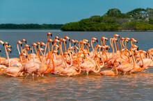 American Flamingo (Phoenicopterus Ruber), Rio Celestun UNESCO Biosphere Reserve, Yucatan, Mexico