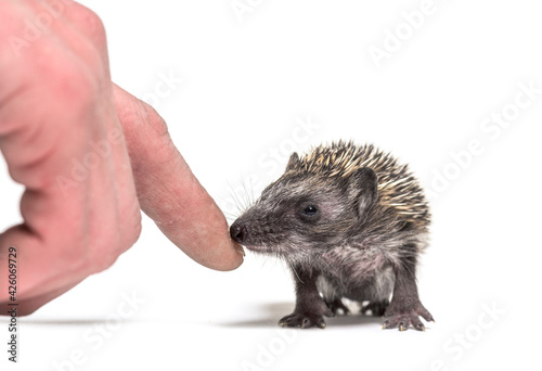 Human hand touching a Young European hedgehog to rescue it