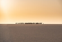 Salt Caravan Transporting Salt Through The Desert, Oasis Fachi, Tenere Desert, Niger, West Africa
