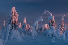 Snow Covered Winter Landscape At Sunset, Tykky, Kuntivaara Fell, Kuusamo, Finland