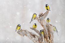 Great Tit (Parus Major) Group, In Snowfall, Kuusamo, Finland