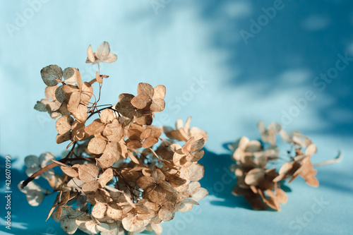 Fototapeta Branches of dry hydrangea flowers on a blue background in bright natural light