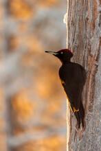 Black Woodpecker (Dryocopus Martius) In Snow Covered Winter Landscape, Kuusamo, Finland