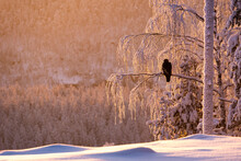 Golden Eagle (Aquila Chrysaetos) In Snow Covered Tree At Sunset, Kuusamo, Finland