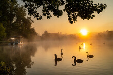 Black Swan (Cygnus Atratus), At Sunrise, Kent, England, United Kingdom