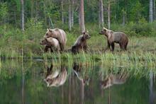 Eurasian Brown Bear (Ursus Arctos Arctos) And Cubs, Kuhmo, Finland