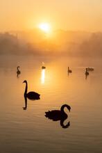 Black Swan (Cygnus Atratus), At Sunrise, Kent, England, United Kingdom