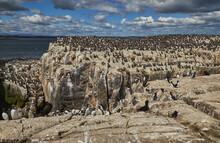 Crowds Of Guillemots (Uria Aalge), On Staple Island, In The Farne Islands, Northumberland, Northeast England, United Kingdom
