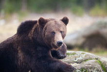Brown Bear Portrait In The Wilderness, Carpathian Mountains, Romania