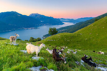 Goats At Pasture Eating And Lake Como At Sunrise, Musso, Lake Como, Lombardy, Italian Lakes, Italy