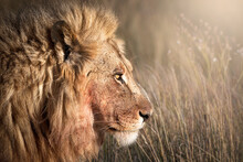 Head Shot Of A Male Lion (Panthera Leo), Namibia