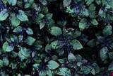 Dark green foliage, leaves pattern