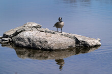 Canada Goose On Rock Island In Bay In Spring