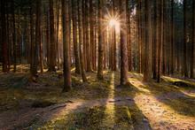 Larch Wood And Sun Star Between Tree Trunks, Trentino-Alto Adige, Italy