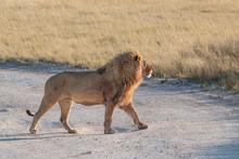 Male Lion (Panthera Leo) Walking Proud In The Savannah, Etosha National Park, Namibia