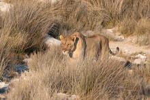 Lioness (Panthera Leo) Standing In The Savannah, Etosha National Park, Namibia