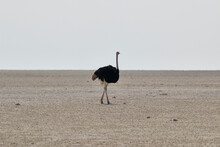 Lonely Ostrich (Struthio) Walking In The Salt Pan In The Middle Of Etosha, Etosha National Park, Namibia