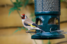 European Goldfinch (Carduelis Carduelis) On Squirrel-proof Sunflower Seed Bird Feeder, Henley-on-Thames, Oxfordshire, England, United Kingdom
