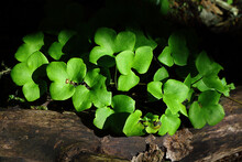 Green Buttercup Leaves Over Old Tree Trunk In Wood