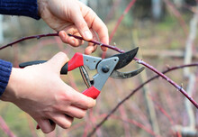 Cumberland Black Raspberry, Black Raspberry, Cumberland Plant Care And Pruning: A Gardener Is Tip Pruning A Blackberry Cane In Spring To Encourage The Cane To Branch Out.