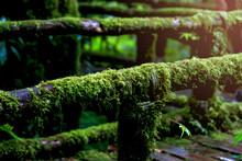 Green Beautiful Rain Forest, Green Moss Growing On Decayed Tree Trunk In Rainy Season At Ang Ka Nature Trail, Doi Inthanon, Chiangmai, Thailand