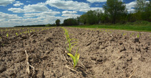 Growing Corn In The Agriculture Field. Corn Seedlings, Sprouts Growing On Dry Sandy Soil. Agriculture Spring Landscape.