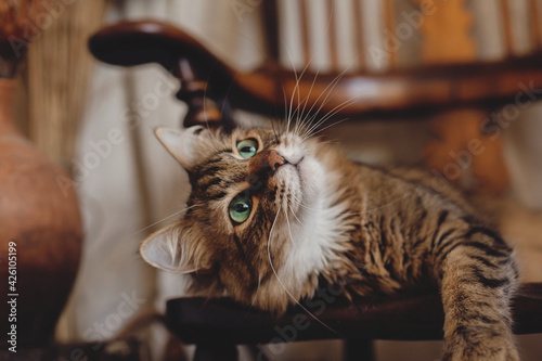 Fotografie, Obraz Beautiful tabby cat with curious look relaxing on wooden chair in bohemian room