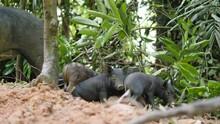 Cute Small Sleepy Wild Boar Piglets In Thai Rainforest Jungle. 4K.
