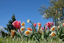 Close Up Of A Beautiful Tulip And Other Colorful Flowers Against A Blue Sky In France